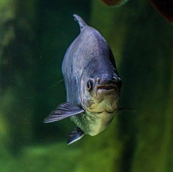 Fish, Piranha, Threat, Aquarium