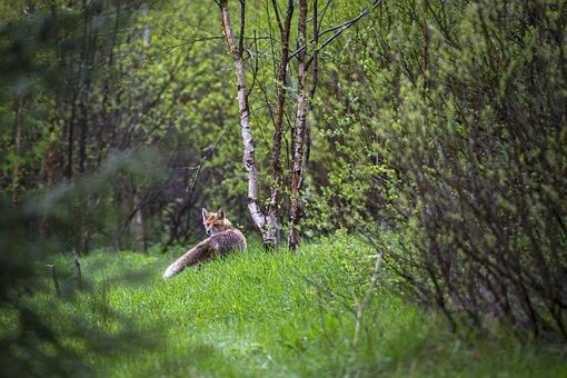 Red Fox, Vulpes Vulpes, Forest, Portrait, Nature, Fox