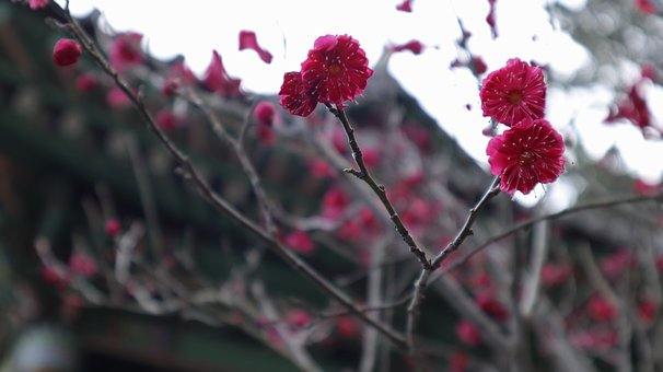 Apricot, Red Apricot Blossom, Tree, Spring, Flowers