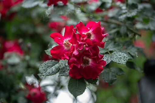 Sumer, Rain, Rose, Red, Color, Nature