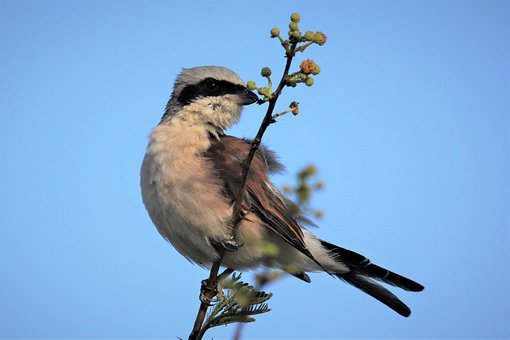 Red-backed Shrike, Migration, Branch, Bird, Watching