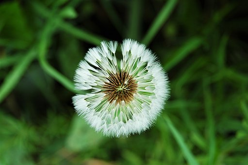 Dandelion, Seeds, Wind, Nature, Flower, Fluffy, White