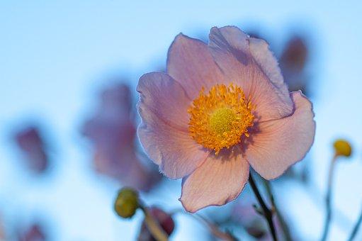 Fall Anemone, Pink, Sunset, Anemone, Late Summer