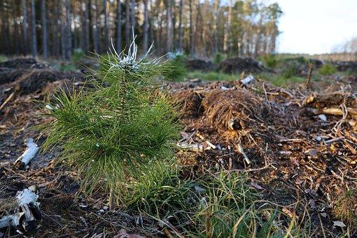 Forest, Pine, Tree, Slice