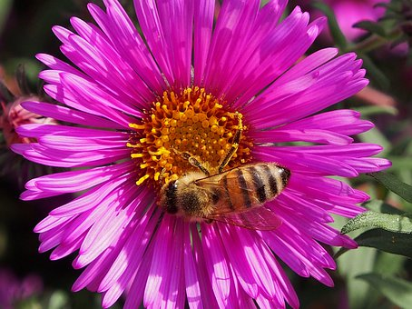 Autumn Flower, Bee, Insect, Asters, Autumn, Violet