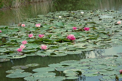 Water Lilies, Pond, Water Lily, Flowers, Summer, Nature
