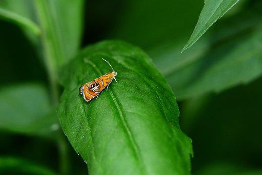 Zwójka Tęczowana, A Moth, Butterfly Night, Wings, Model