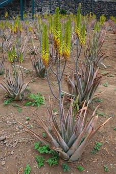 Aloe, Aloe Vera, Plant, Vera, Medicine, Botany, Exotic
