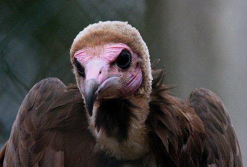 Bird, Vulture, Nature, Animal, Animal Portrait, Feather