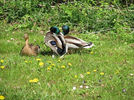 Ducks, Drake, Balz, Duck, Water Bird