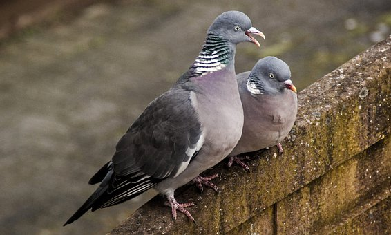 Pigeon, Wild, Nature, Feather, Bird, Animal, Beak