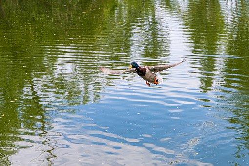 Duck, Flight, Lake, Wing, Animal, Bird, Feather