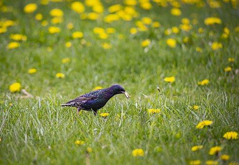 Common Starling, Sturnus Vulgaris, Bird, Ground, Grass