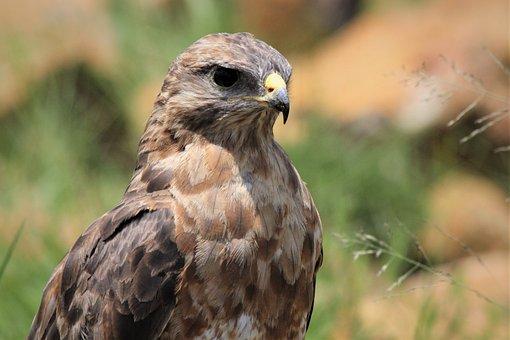 Steppe Buzzard, Birds Of Prey, Head Shot, Bright Sun