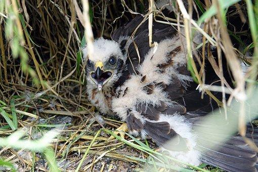Hen Harrier, Chick, Young, Bird Of Prey