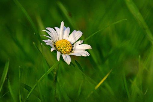 Common Daisy, Flower, Plant, Bellis Perennis, Petal