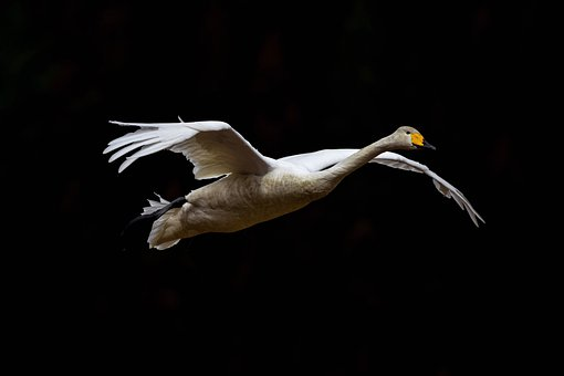 Animal, Sky, Dark, Bird, Wild Birds, Swan