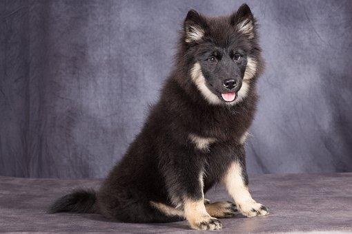 Dog, Pup, Puppy, Portrait, Dog Eurasier