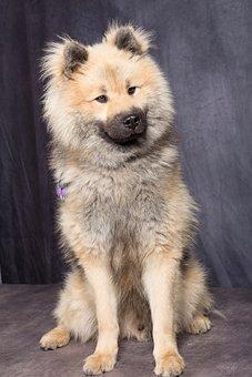 Dog, Dog Eurasier, Dog Sitting, Beautiful Posture
