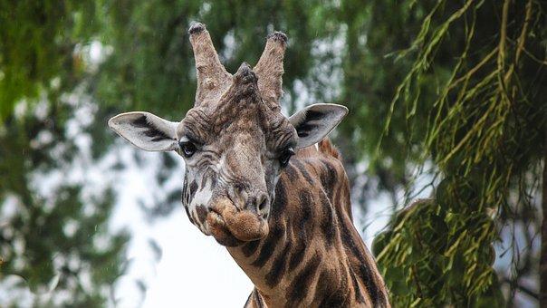 Unhappy, Giraffe, Animals, Drunk
