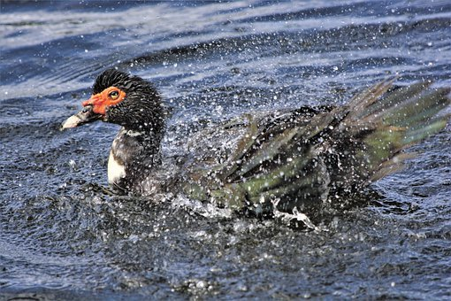 Duck, Shaking Water, Off Back, Swimming, Muscovy
