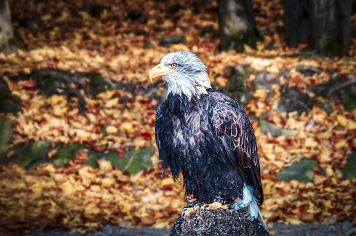 Eagle, Falcon, Prakt, Bird, Hawk, Nature, Predator