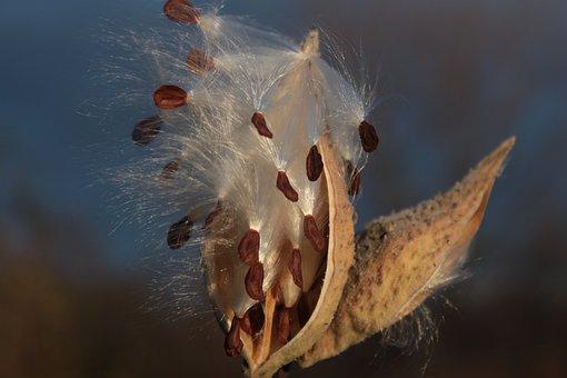 Milkweed, Flower, Fall, Plants, Nature, Leaves, Petal