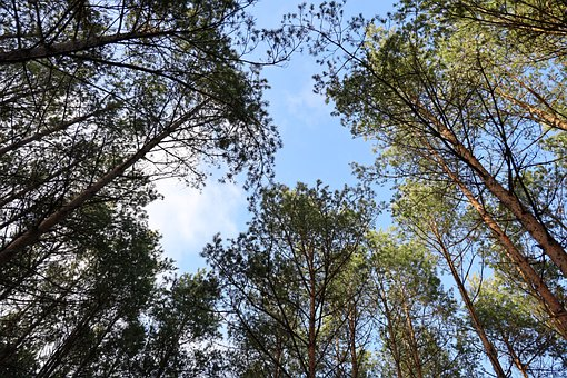 Nature, Forest, Pine, Sky