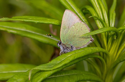 Green Hairstreak, Callophrys Rubi, Spring, Forest