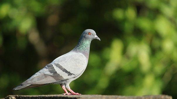India, Kerala, Dove, Pigeon, Rock Dove, Bird, Avian