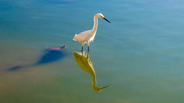 Little Egret, Lake, Reflection, Shadow, Nature, Water