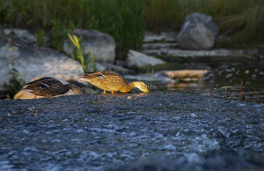 Duck, Mallard, Anas Platyrhynchos
