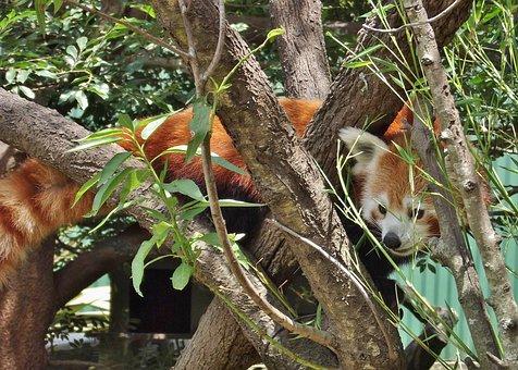 Zoo, Red Panda, Panda, Mammal, Animal, Nature, Pandas