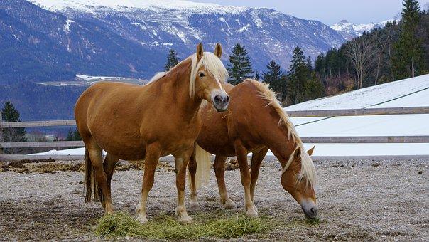 Haflinger, Horses, Alpine, Mammal, Pasture, Snow