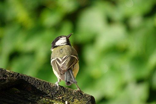 Great Tit, Bird, Garden, Nature, Songbird, Green, Tit