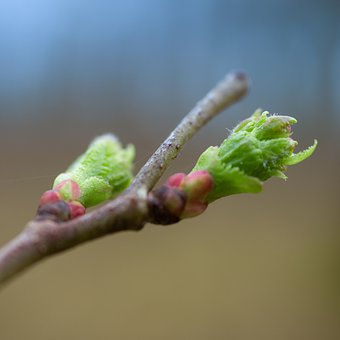 Bud, Leaves, Shoots, The Beginning Of Spring, Nature
