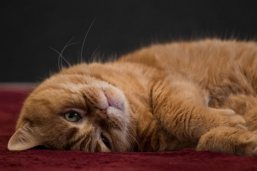 British Shorthair, Luke, Cat, Domestic Cat, Pet, Mieze