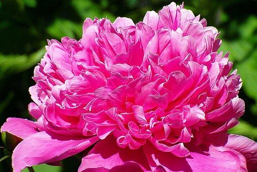 Peony Pink, Flower Pink, Garden, Petals