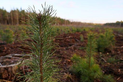 Pine, Needles, Closeup, Trees, Nature