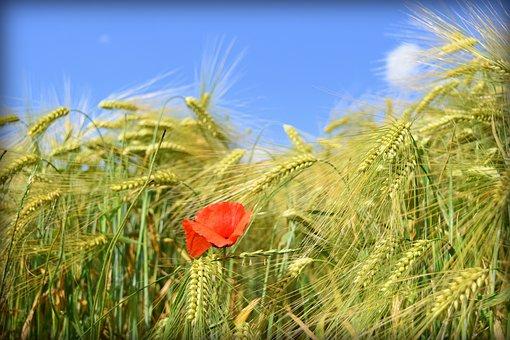Wheat, Poppy, Sky, Wheatfield, Nature, Cereals