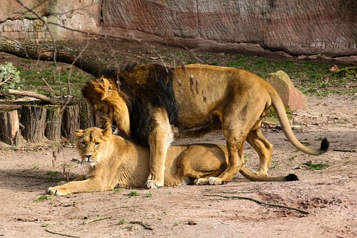 Animal World, Lion, Predator, Big Cat, Wild, Love