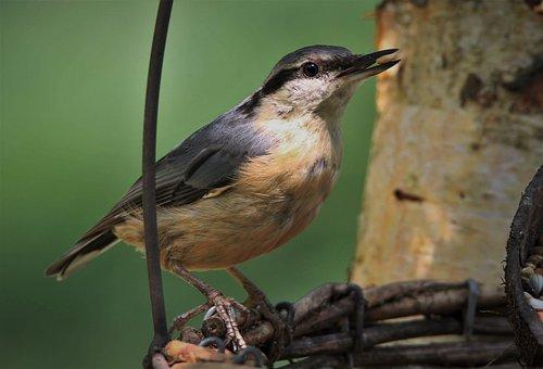 Bird, Kleiber, Songbird, Wild Animal, Animal