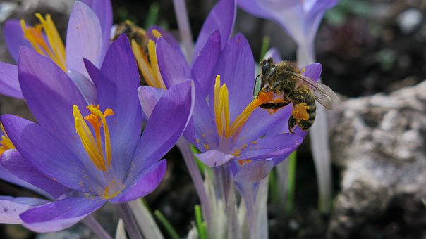 Crocus, Honey Bee, Collect, Spring
