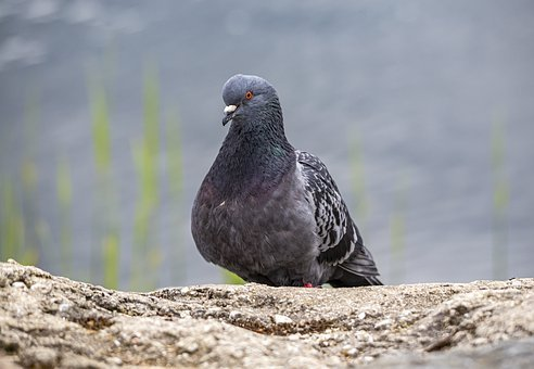 Pigeon, Columbidae, Dove, Bird, Portrait, Stone, Face