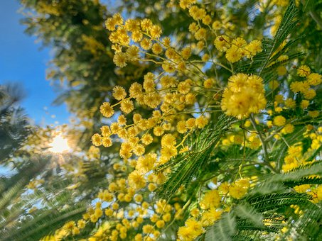 Mimosa, Woman, Yellow, Bloom, Summer