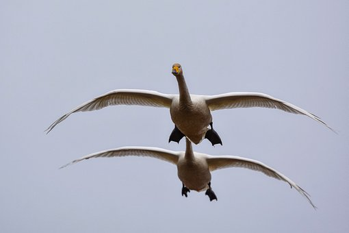 Animal, Sky, Bird, Wild Birds, Swan, Video High Chou