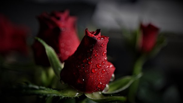 Rose, Red, Rain, Weather, Rainy Weather, Beauty, Nature