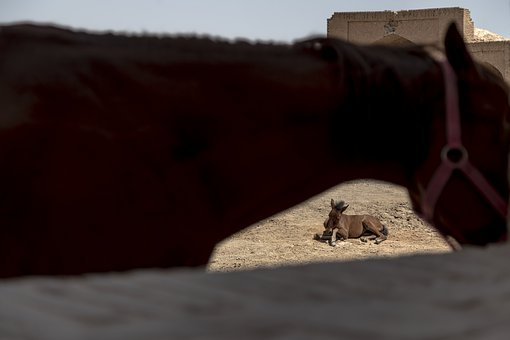 Horse, Donkey, Animals, Iran
