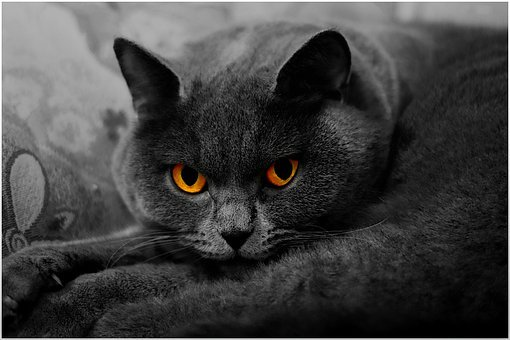 British Longhair Cat, Cat, Beautiful, Love, Dormant