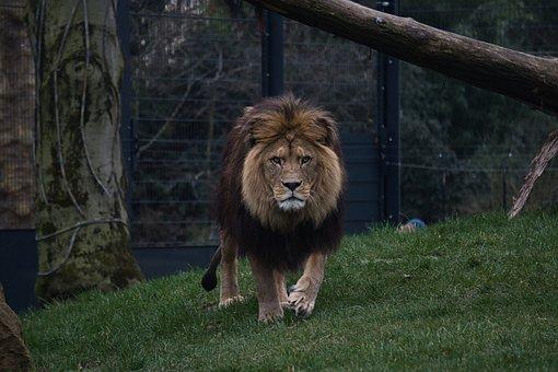 Lion, Zoo, Zoo Heidelberg, Mane, Big Cat, Wild Animal